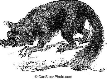 The Aye-aye, lemur or Daubentonia madagascariensis Vintage...