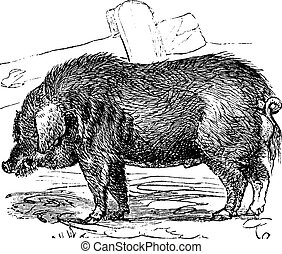 Curly-hair Hog or Mangalitsa or Mangalitza or Mangalica or...