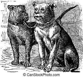 Bulldog vintage engraving - Bulldog or English Bulldog or...