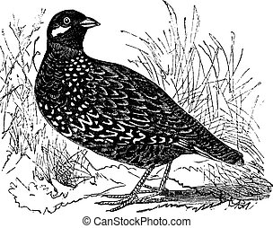 Black Francolin or Francolinus francolinus, gamebird,...