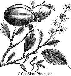 Purging Croton or Croton tiglium, vintage engraving Old...
