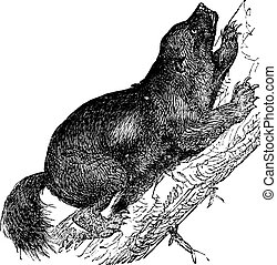 Wolverine or Gulo luscus vintage engraving - Wolverine or...