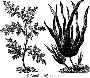 Pepper dulse, red algae or Laurencia pinnatifida (left)....