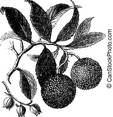 Strawberry Tree or Madrono vintage engraving - Strawberry...