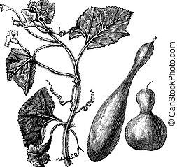 Calabash or Lagenaria vulgaris vintage engraving - Calabash...