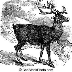 Caribou or Reindeer vintage engraving - Caribou or Reindeer...