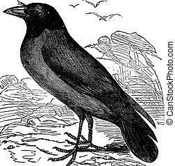 Hooded Crow or Hoodiecrow or Corvus cornix vintage engraving...