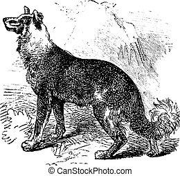 Belgian Shepherd vintage engraving - Belgian Shepherd or...