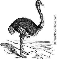 The Ostrich or Struthio camelus. Vintage engraving. Old...