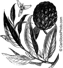 Annona reticulata or custard-apple vintage engraving