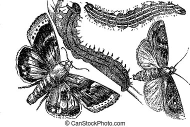 Owlet moth or Noctuidae vintage engraving - Owlet moth or...