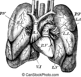 Human Heart and Lungs vintage engraving - Human Heart and...