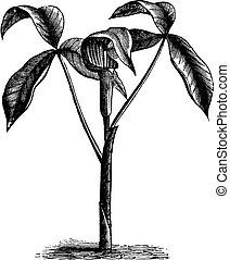Arisaema triphyllum or wild turnip old engraving. - Arisaema...