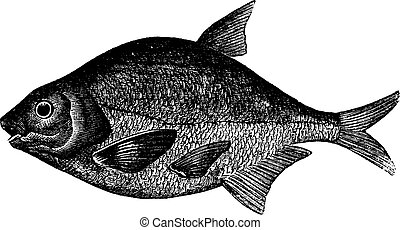 Common bream or Abramis brama, freshwater, fish , vintage...