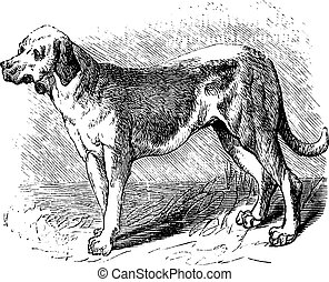Bloodhound or Saint Hubert Hound or Sleuth Hound or Canis...