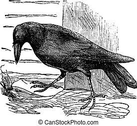 Raven or Corvus sp. vintage engraving - Raven or Corvus sp.,...