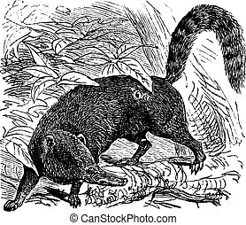 Ring-tailed Coati or South American Coati or Nasua nasua...