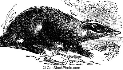 European Badger or Meles meles, vintage engraving - European...