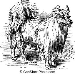 Spitz vintage engraving - Spitz or Canis lupus familiaris,...
