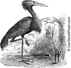 Engraving of a Reddish Egret (ardea rufa or Egretta...