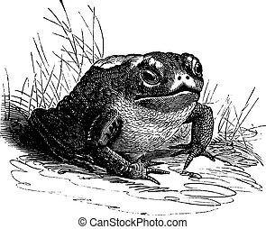 Common Toad or Bufo sp vintage engraving - Common Toad or...