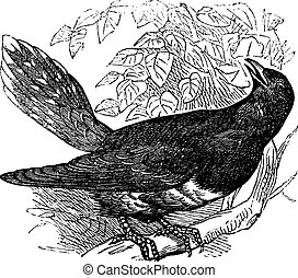 Common Cuckoo or Cuculus canorus vintage engraving - Common...