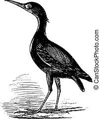 Eurasian Bittern or Botaurus stellaris, bird, vintage...