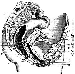Female pelvis, vintage engraving. - Female pelvis...