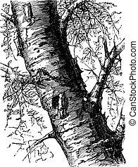 White Birch or Betula papyrifera, tree, trunk, vintage...