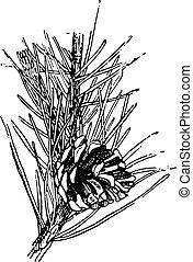 Scots pine or Pinus sylvestris, vintage engraving.
