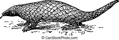 Pangolin or Scaly Anteater, vintage engraving. - Pangolin or...