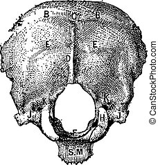 Occipital Bone, vintage engraving - Occipital Bone, in...
