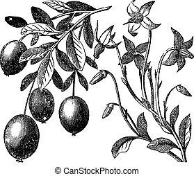 Cranberry vintage engraving. Old antique engraved...