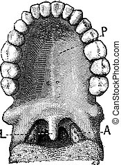 The palatine uvula or uvula, vintage engraving. - The...
