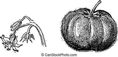 Tomato, flower and fruit, vintage engraving.