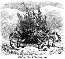 The Maia: female spider crab, covered with moss and seaweed; quarter of the size, vintage engraving.