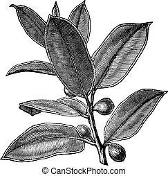 Rubber Plant or Rubber Fig or Rubber Bush or Indian Rubber Bush or Ficus elastica, vintage engraving