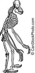 Esqueleto, de, orangután, vendimia, Grabado,
