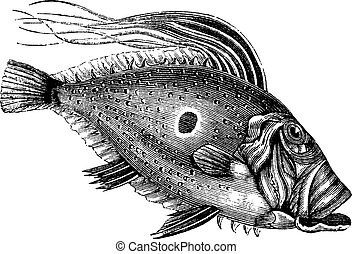 faber, incisione, John, vendemmia, fish, zeus, dory, Pierre,...