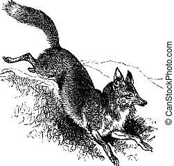 Golden jackal or Canis aureus vintage engraving. Old...