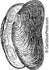 River Mussel or Unio sp., vintage engraving - River Mussel...