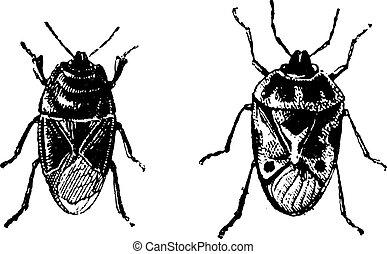 Black bug, Orne Bug, vintage engraving - Black bug, Orne...