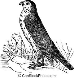Merlin or Pigeon Hawk or Falco columbarius, vintage...
