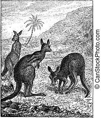 Kangaroo, vintage engraving.