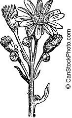 Groundsel or Senecio sp, vintage engraving - Groundsel or...