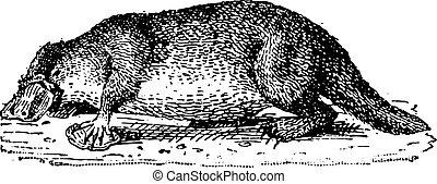 Platypus, vintage engraving. - Platypus, vintage engraved...