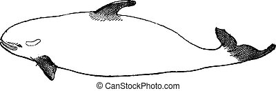 Killer Whale or Orcinus orca, vintage engraving - Killer...