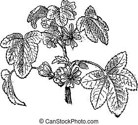 Common Mallow or Malva sylvestris, vintage engraving