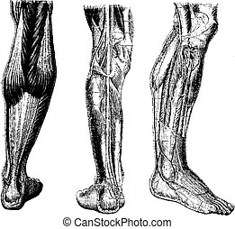 Human Leg, vintage engraving - Human Leg, showing posterior...