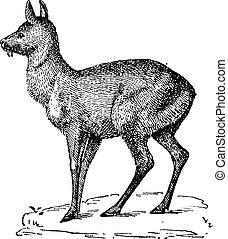 Siberian Musk Deer or Moschus moschiferus, vintage engraving